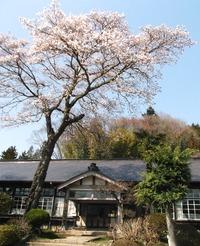 上岡小学校の桜