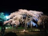 小生瀬地蔵桜ライトアップ�