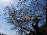 袋田周辺の桜�
