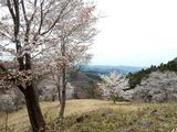 沓掛峠の山桜群�