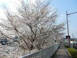 久慈川の桜並木�