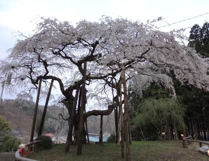 地蔵桜4月24日(1)