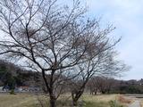 湯の里公園の桜�