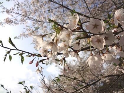 相川桜並木4月24日(2)
