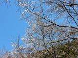 相川の桜並木�