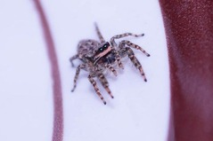 jumping-spiders-1180822__340[1]
