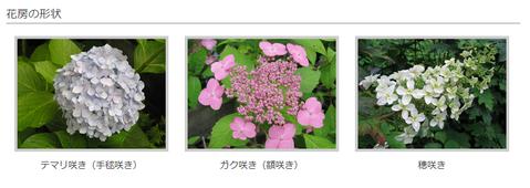 花房の形状(アジサイ)