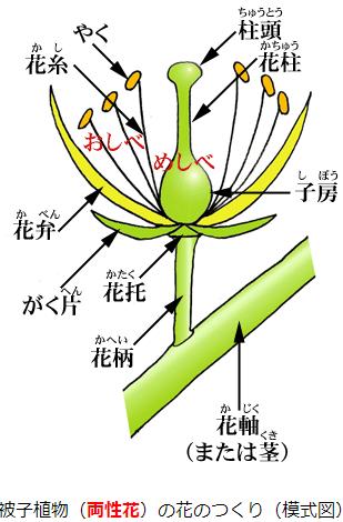 被子植物の花のつくり(白岩先生の植物教室)