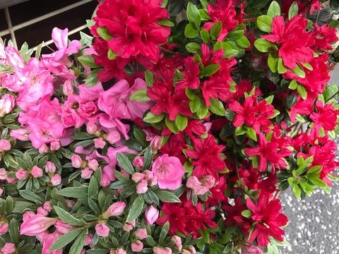 富田林市の市の花「つつじ」なんですよ