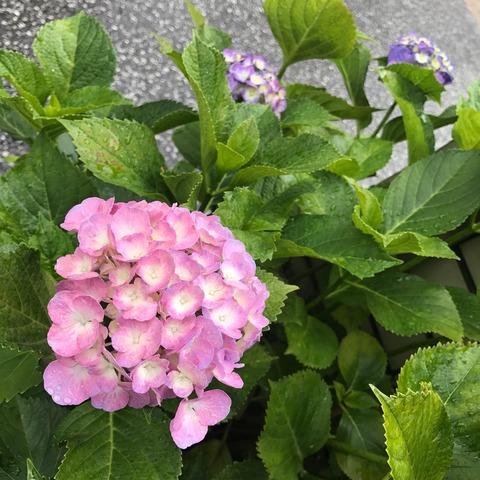 紫陽花に合うお天気は…
