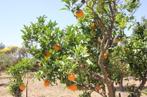 バレンシアオレンジ3