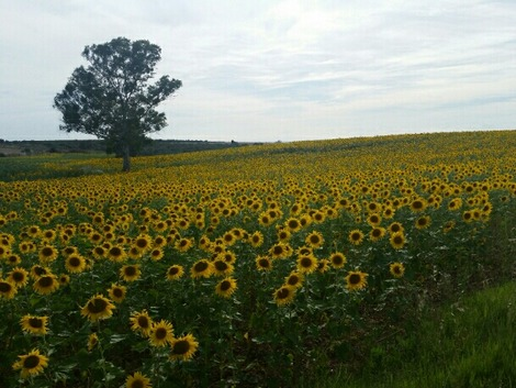 南欧のひまわり畑2