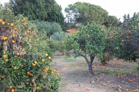 バレンシアオレンジ2