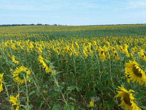 南欧のひまわり畑1