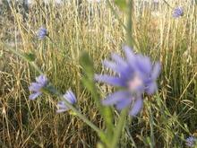南欧の野花?