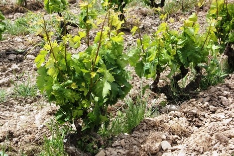 南欧のブドウ畑 (2)