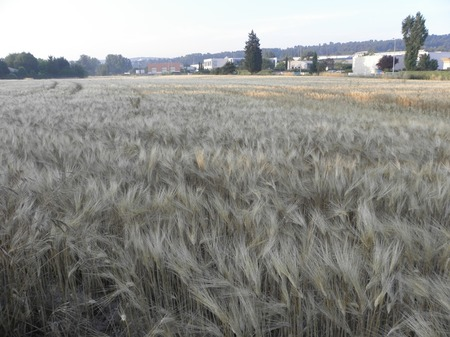 南欧の麦畑