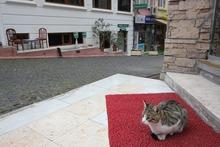 トルコ猫1