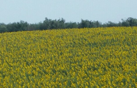 南欧のひまわり畑