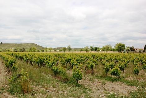 南欧のブドウ畑 (1)