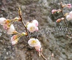 盆栽はんなり桜