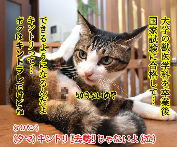春ドラマのオススメは『緊急取調室』なのよッ 猫の写真で4コマ漫画 4コマ目ッ
