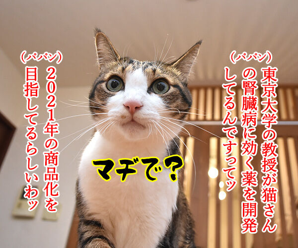 東大教授が腎臓病に効く薬を開発してるんですってッ 猫の写真で4コマ漫画 1コマ目ッ