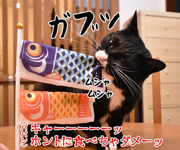 端午の節句だから鯉のぼりを飾りましょーッ 猫の写真で4コマ漫画 2コマ目ッ