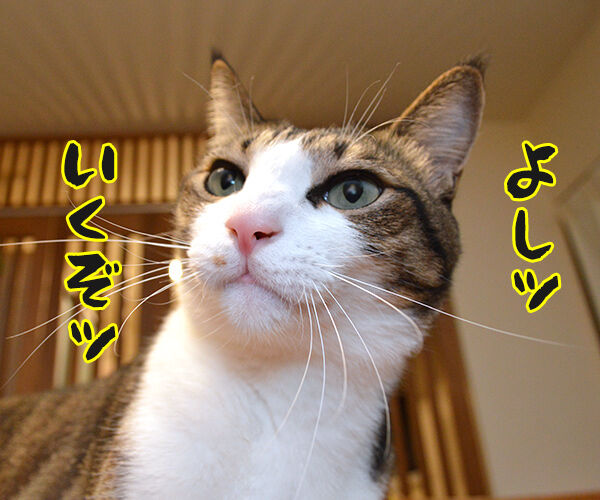 あずきッ いくわよッ 猫の写真で4コマ漫画 2コマ目ッ