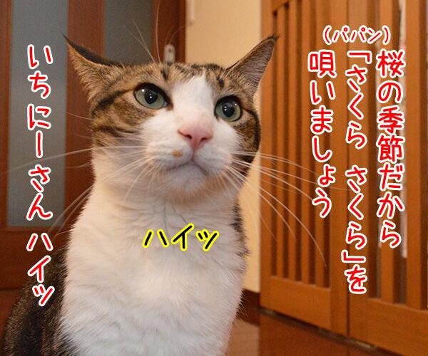 桜の季節だから『さくら さくら』を唄いましょーッ 猫の写真で4コマ漫画 1コマ目ッ