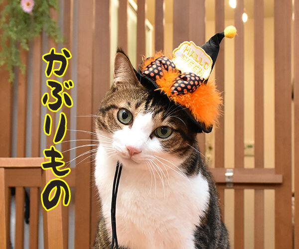 今までにした『かぶりもの』を集めてみたよッ 猫の写真で4コマ漫画 5コマ目ッ