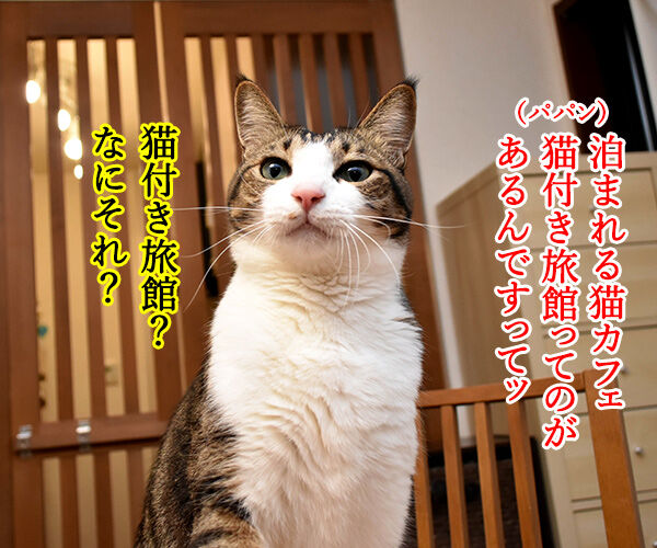 猫カフェの猫さんと泊まれる旅館があるんですってッ 猫の写真で4コマ漫画 1コマ目ッ