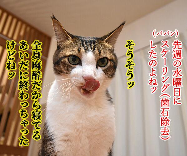 スケーリング(歯石除去)したら声がかすれちゃったのよッ 猫の写真で4コマ漫画 1コマ目ッ