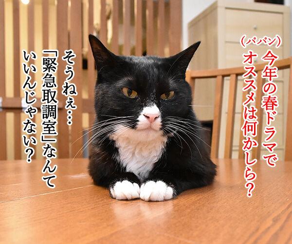 春ドラマのオススメは『緊急取調室』なのよッ 猫の写真で4コマ漫画 1コマ目ッ