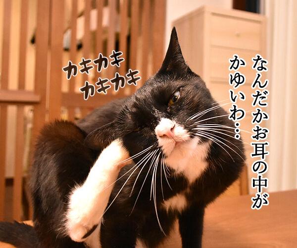 お耳の中がかゆいのよッ 猫の写真で4コマ漫画 1コマ目ッ