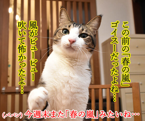 春の嵐がまたくるんですってッ 猫の写真で4コマ漫画 1コマ目ッ