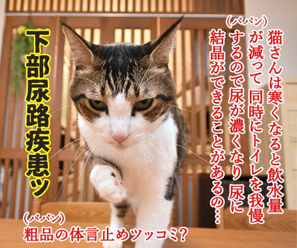 猫さんは寒くてお水飲まないと下部尿路疾患になっちゃうのよッ 猫の写真で4コマ漫画 1コマ目ッ