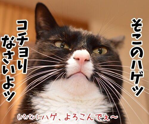 そこのハゲ、コチョりなさいッ 猫の写真で4コマ漫画 1コマ目ッ