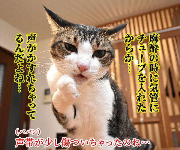 スケーリング(歯石除去)したら声がかすれちゃったのよッ 猫の写真で4コマ漫画 2コマ目ッ