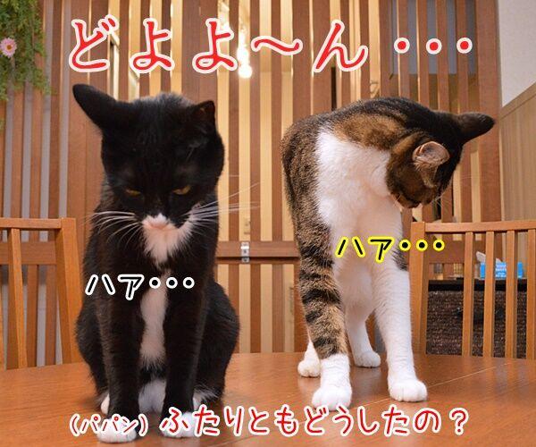 あの人気ドラマが最終回なんですってッ 猫の写真で4コマ漫画 1コマ目ッ
