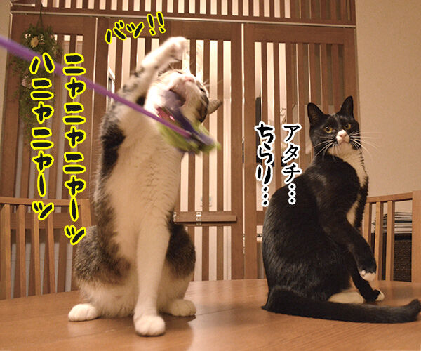 ねこじゃらしで遊びませんこと~? 猫の写真で4コマ漫画 3コマ目ッ