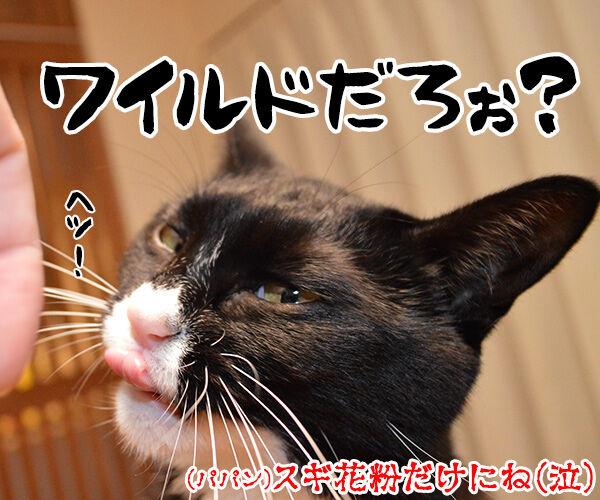 本格的な花粉シーズン到来!! 猫の写真で4コマ漫画 4コマ目ッ