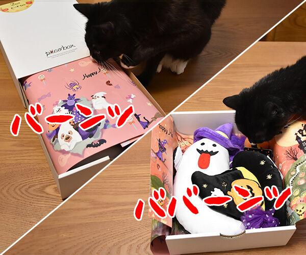 PECOBOXを初めて購入してみたのッ 猫の写真で4コマ漫画 2コマ目ッ