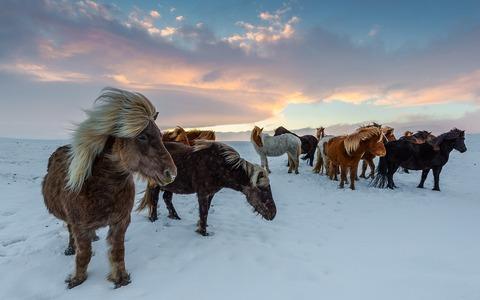 iceland-horses-4649468_960_720