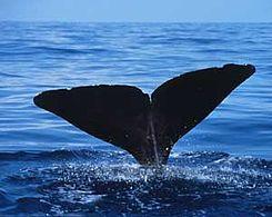 245px-Sperm_whale_fluke