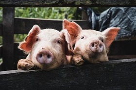 ベトナム豚