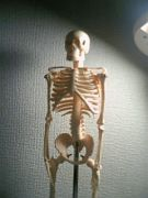人体骨格模型くん1号