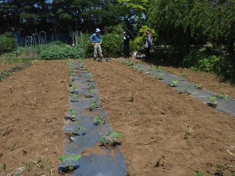 sカボチャの苗植え (10)