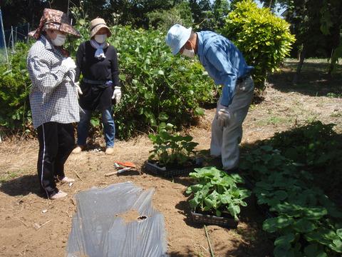 sカボチャの苗植え (2)
