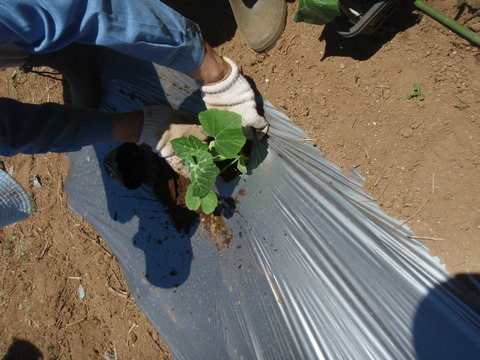 sカボチャの苗植え (4)